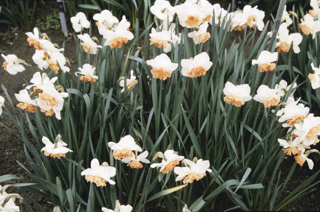 daffodil 'Precocious'