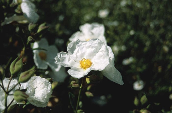 rock rose 'Elma'