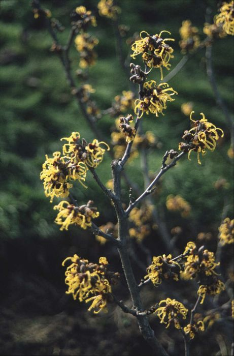 witch hazel 'Barmstedt Gold'