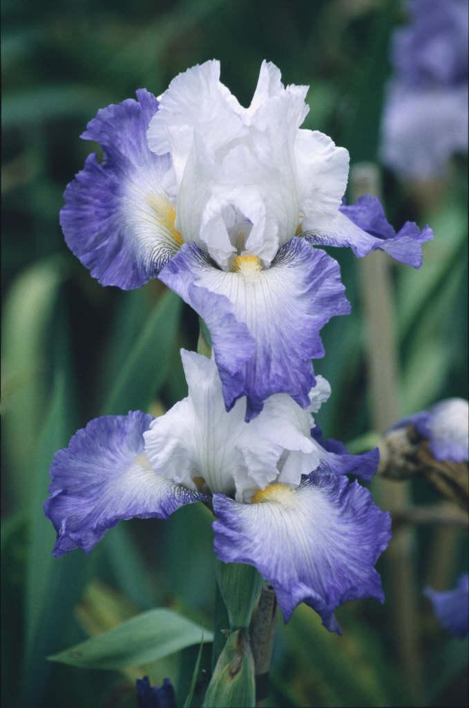 iris 'Alizes'
