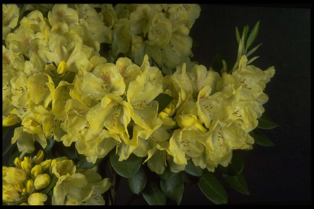 rhododendron 39 goldkrone 39 rhododendron 39 goldkrone 39 rhs. Black Bedroom Furniture Sets. Home Design Ideas