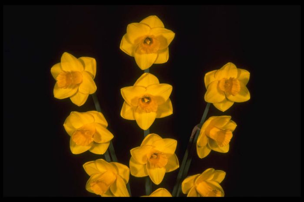daffodil 'Goldfinger'