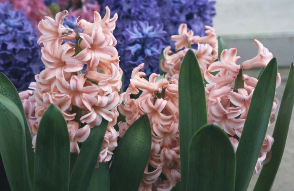 hyacinth 'Anna Marie'