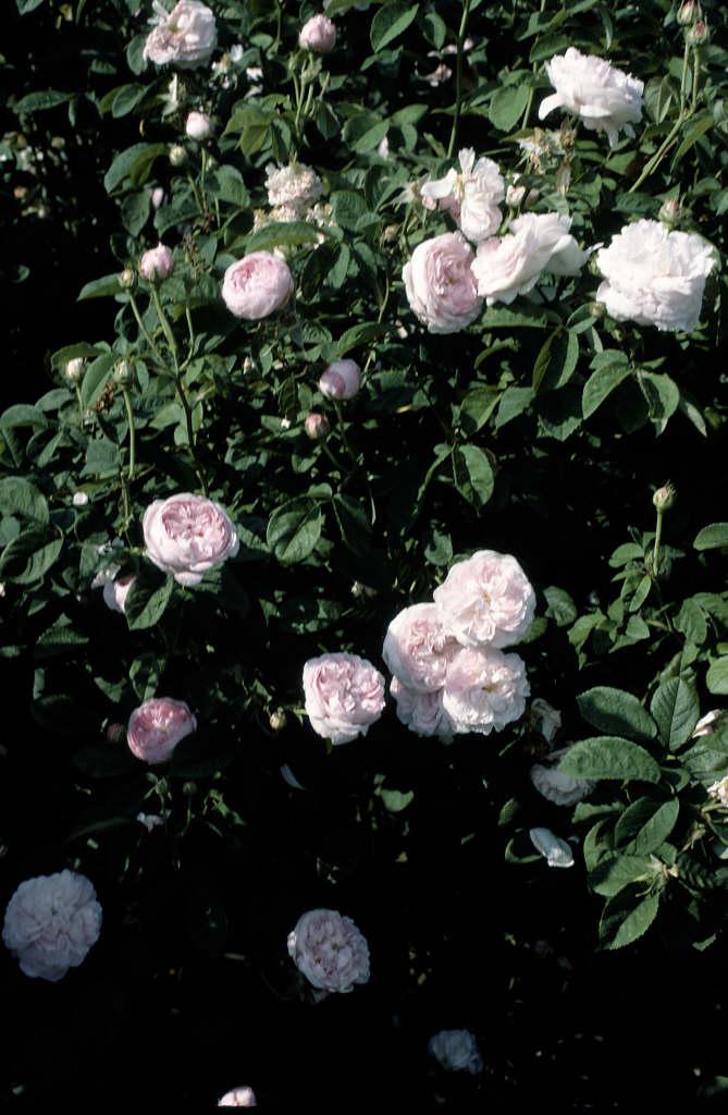 rose 'Duchesse de Montebello'