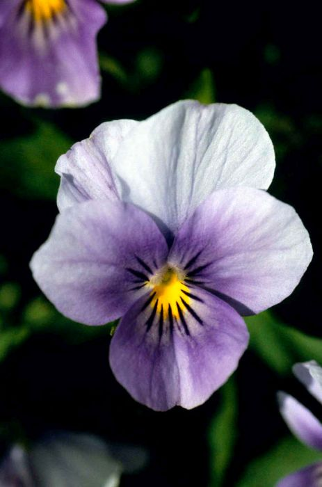viola 'Juliette Blue, Pale Wings'