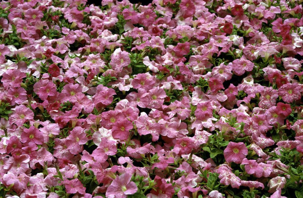 petunia 'Storm Pink'