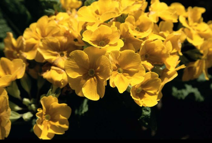 polyanthus 'Crescendo Golden'
