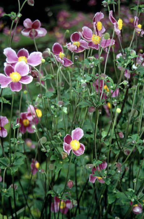 Japanese anemone 'Bowles's Pink'