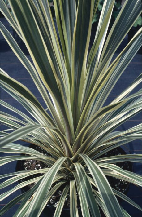cabbage palm 'Torbay Dazzler'