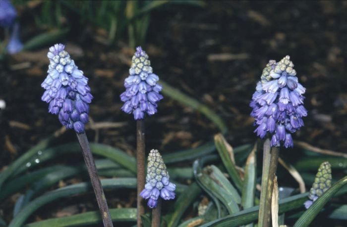 Chalus grape hyacinth