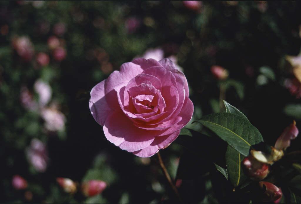 camellia 'Glenn's Orbit'