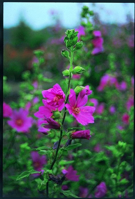 tree mallow 'Burgundy Wine'