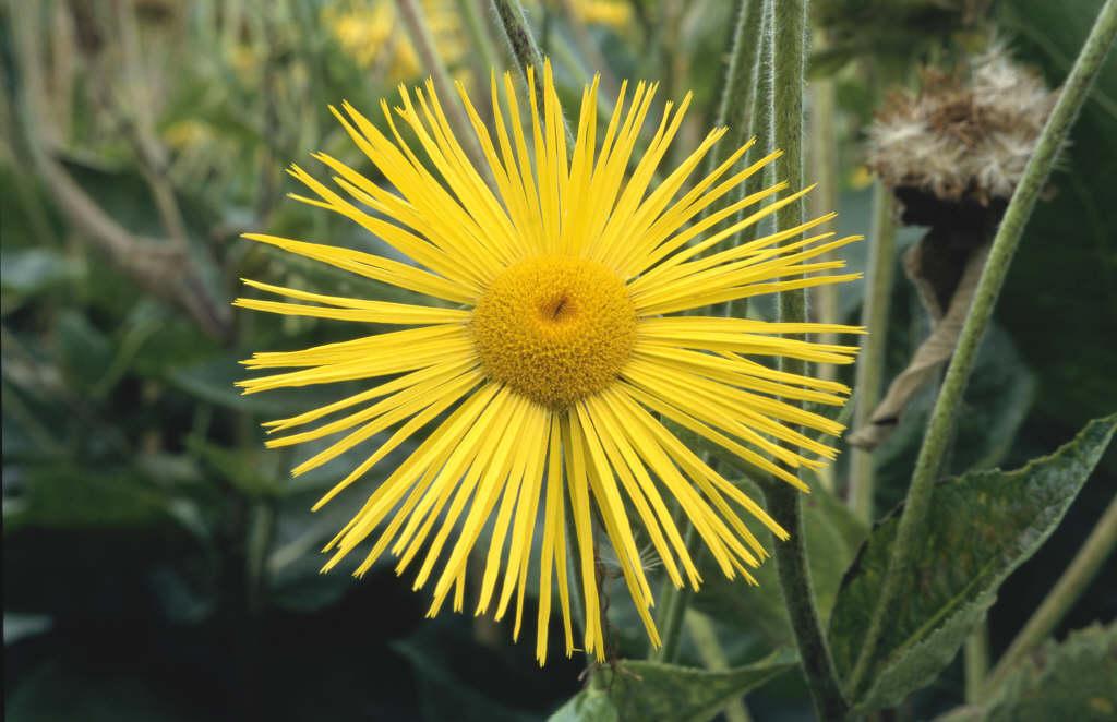 inula 'Sonnenstrahl'