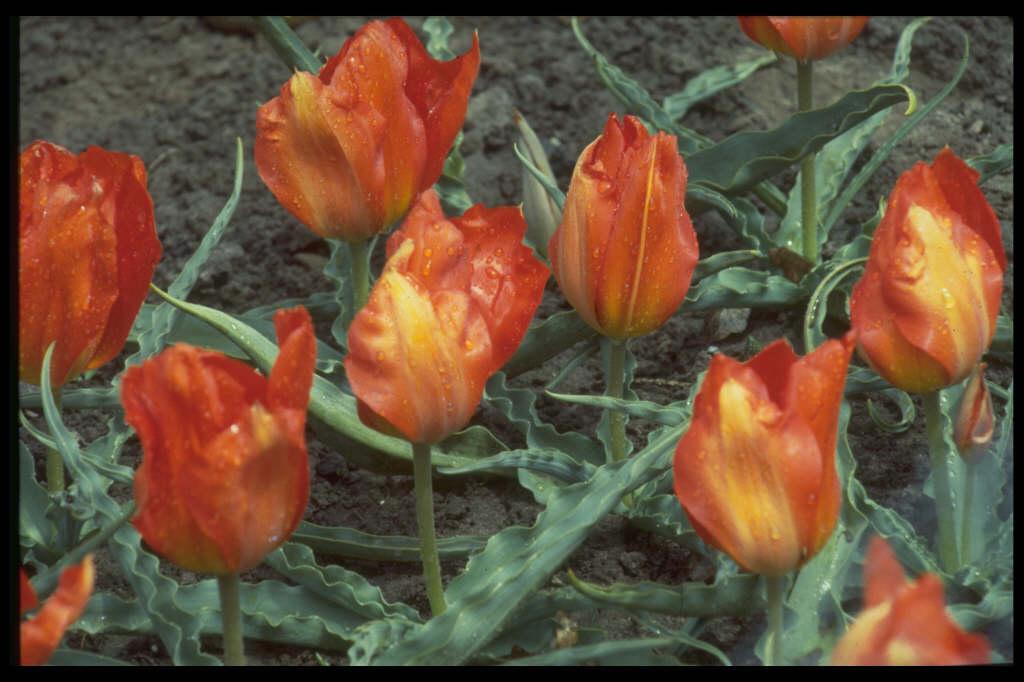 tulip 'Tangerine Beauty'