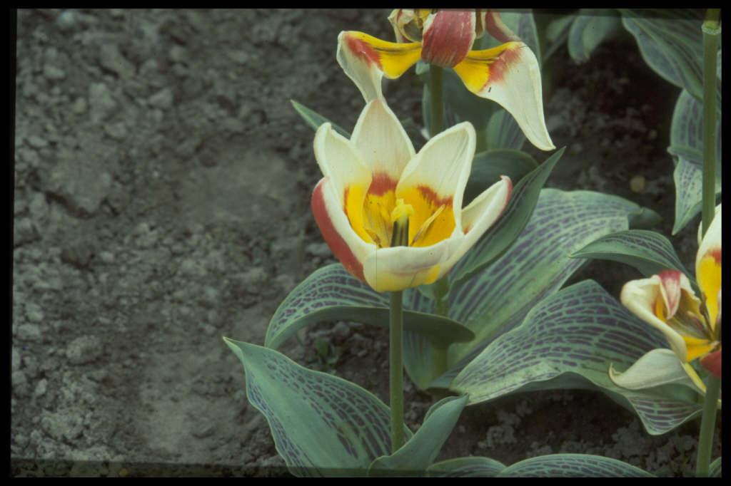 tulip 'Trinket'