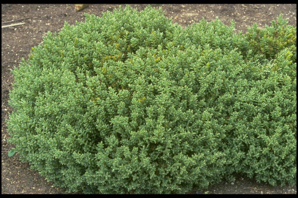 Hebe topiaria topiarist 39 s hebe rhs gardening for Hebe pianta