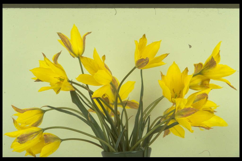 Altai mountain tulip