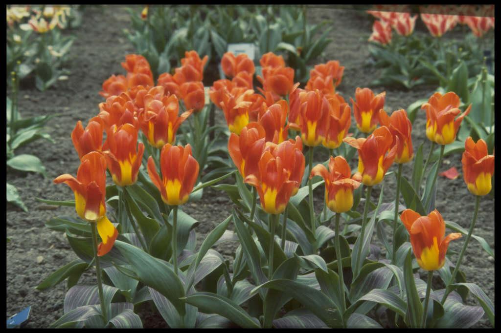 tulip 'Juan'