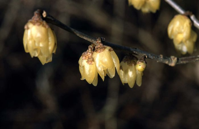 yellow wintersweet