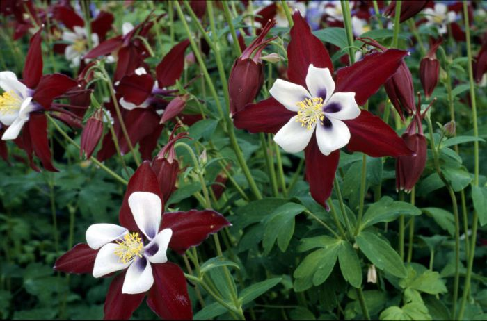 columbine 'Louisiana'
