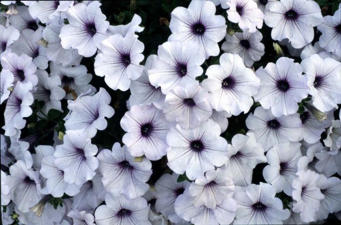 petunia Conchita Blueberry Frost
