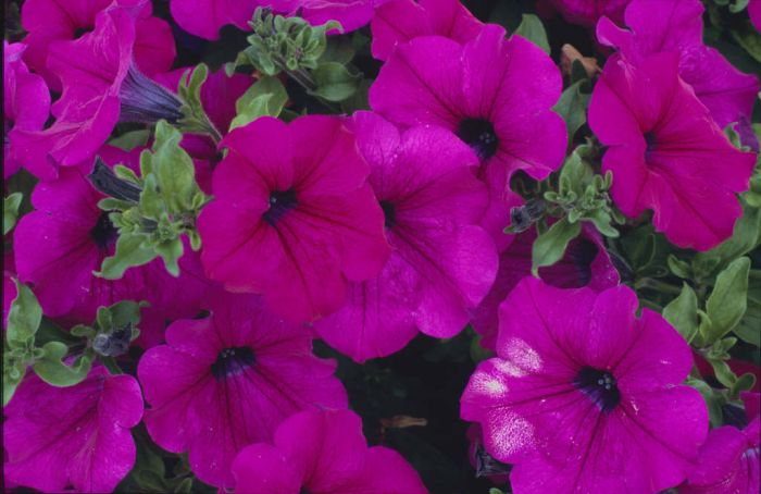 petunia [Surfinia Purple]