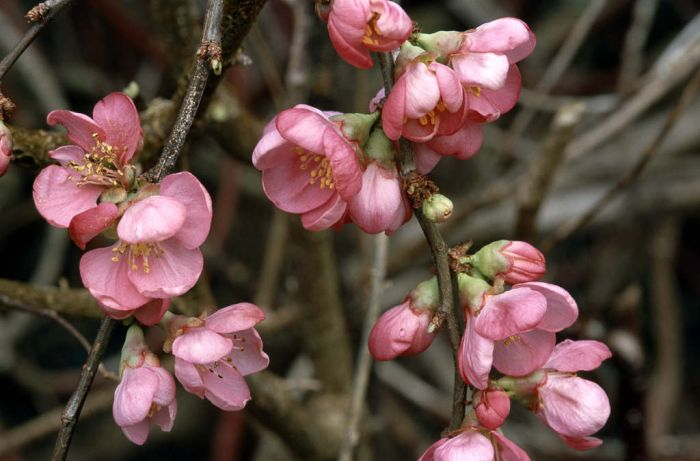Japanese quince 'Pink Lady'