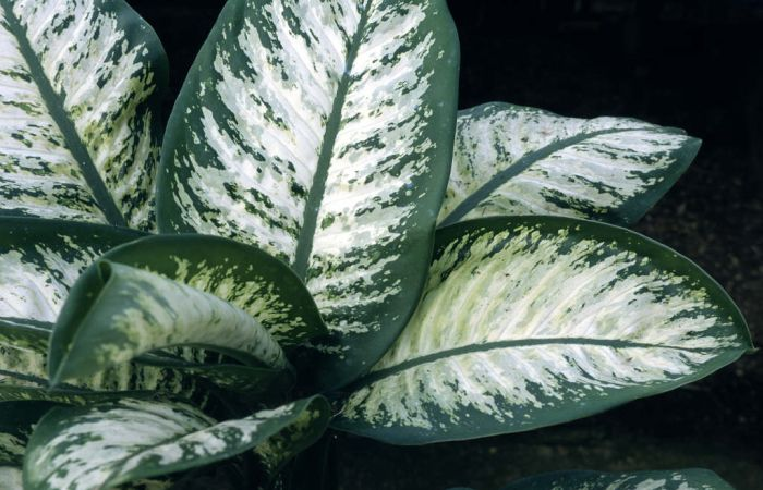 dumb cane 'Tropic Snow'