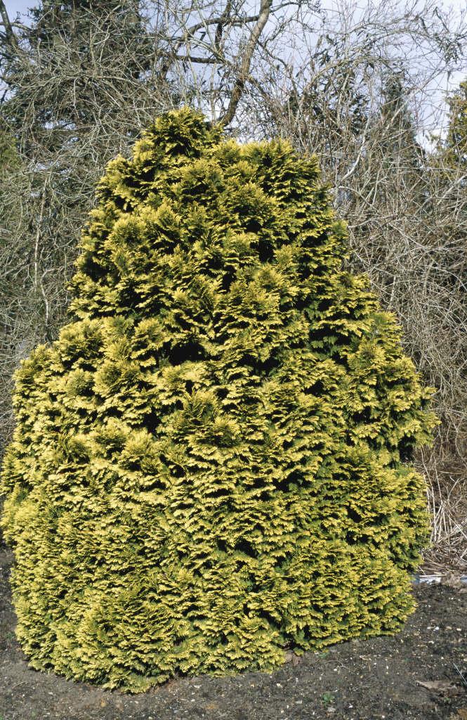 Lawson's cypress 'Aurea Densa'