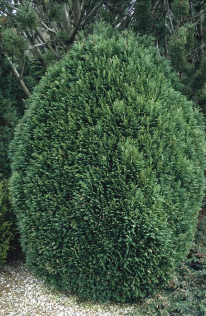 Lawson's cypress 'Gimbornii'