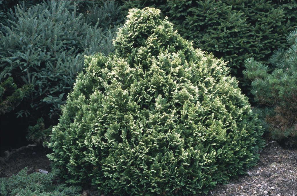 Lawson's cypress 'Pygmaea Argentea'