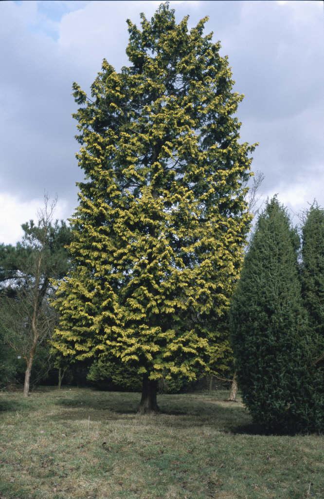Hinoki cypress 'Crippsii'