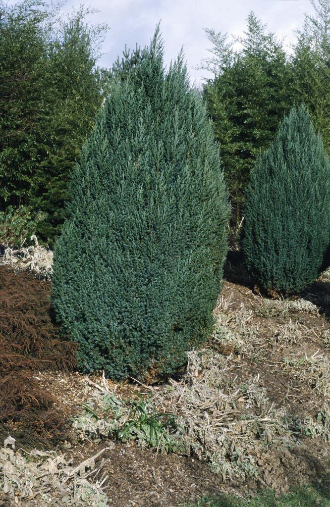 Chinese juniper 'Pyramidalis'