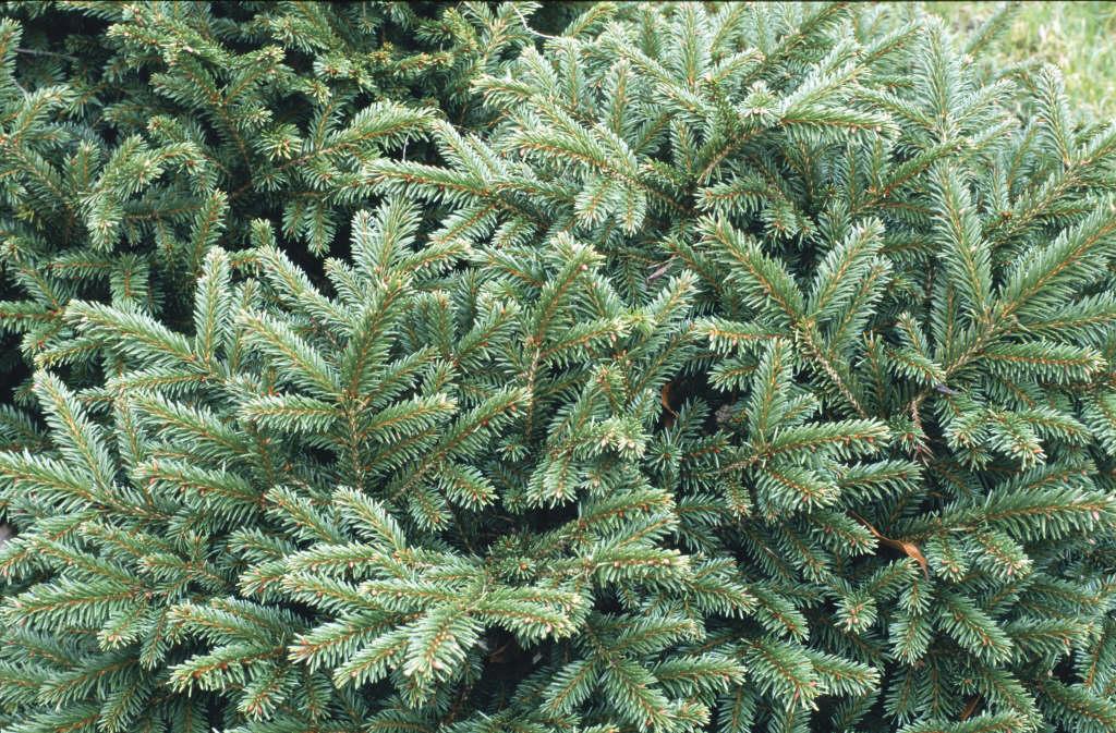 Norway spruce 'Nidiformis'