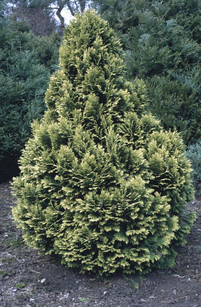 Lawson's cypress 'Lutea Nana'