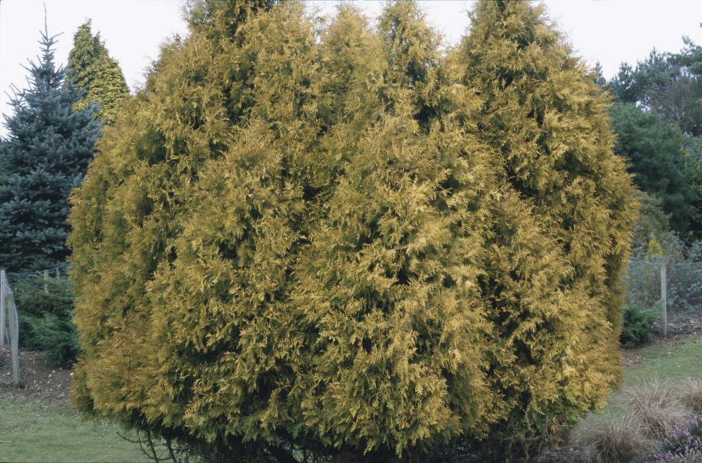 white cedar 'Rheingold'