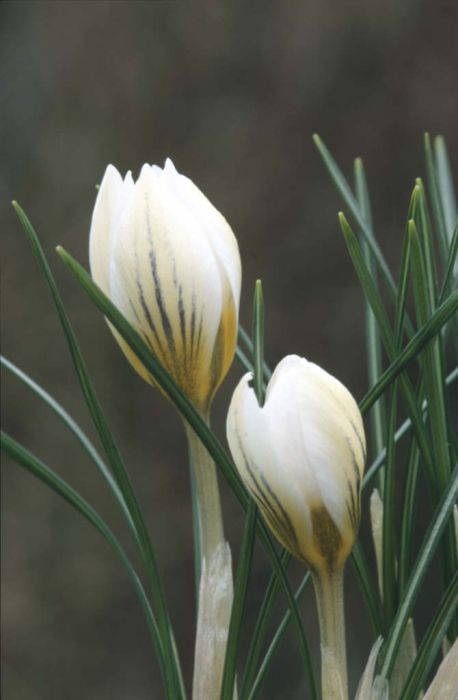 crocus 'Snow Bunting'