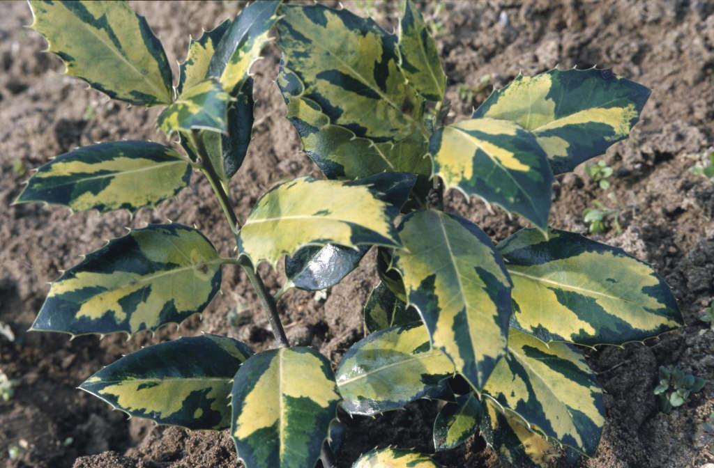 holly 'Myrtifolia Aurea Maculata'