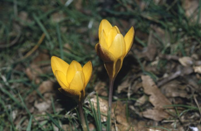 crocus 'Zwanenburg Bronze'