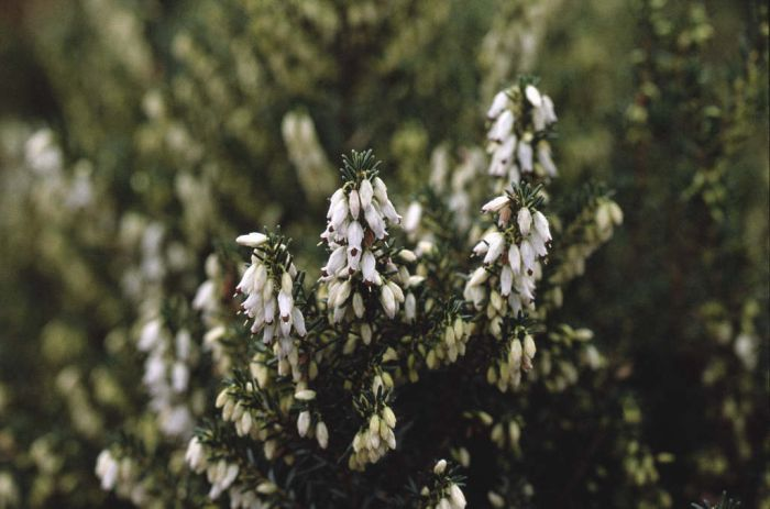 Irish heath 'W.T. Rackliff'