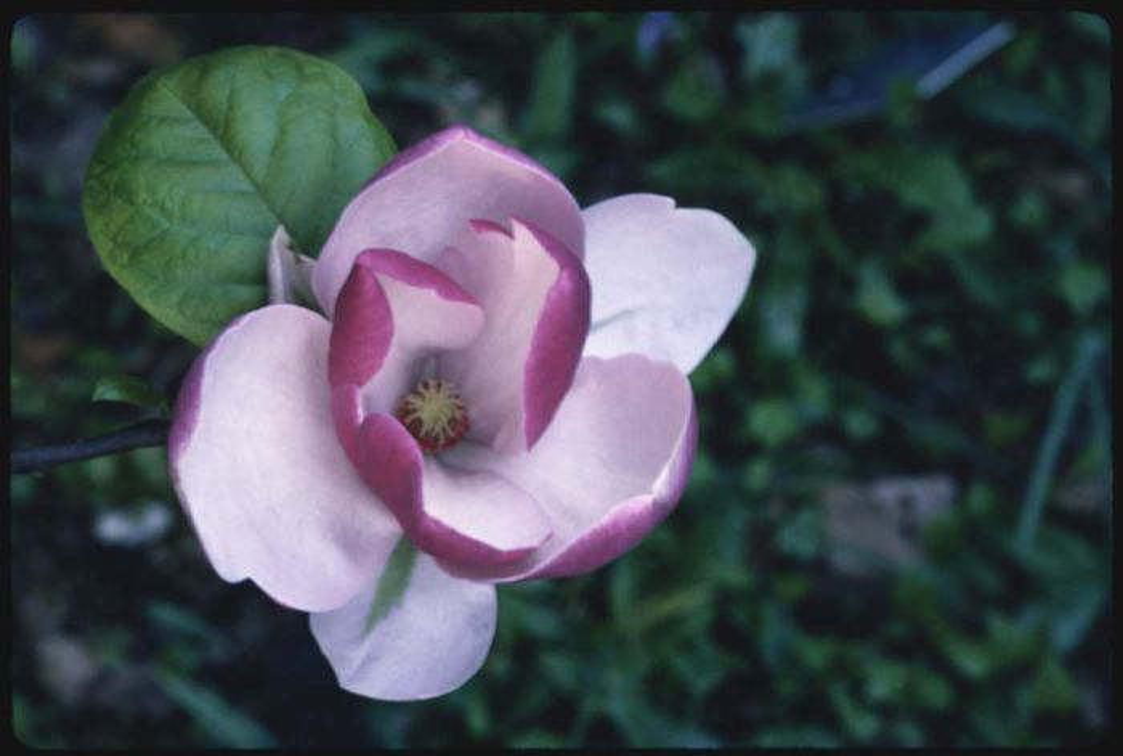 saucer magnolia 'Lennei'