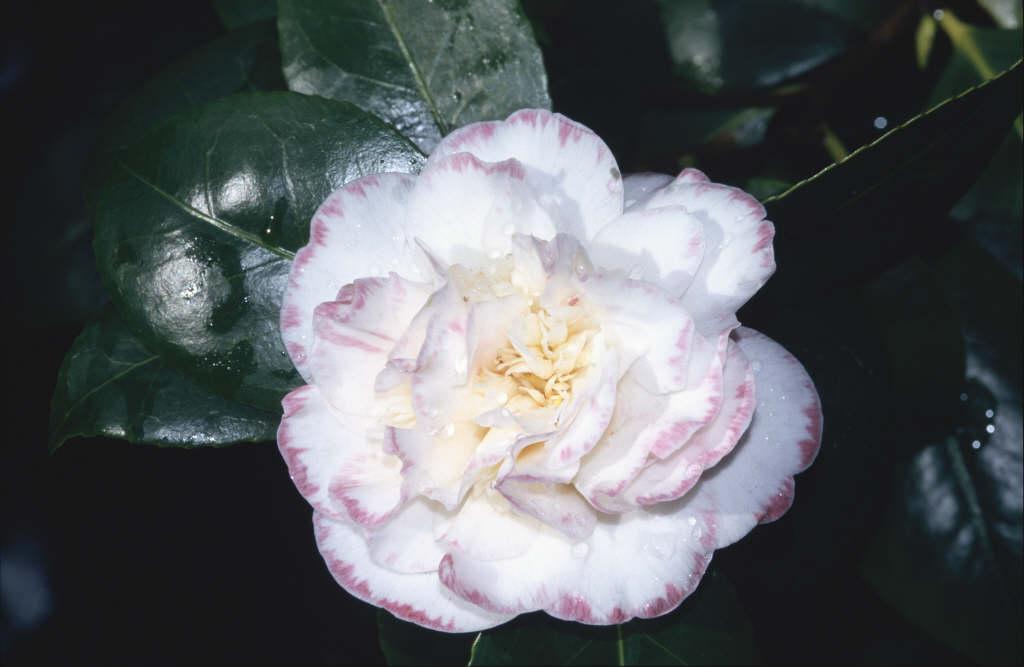 camellia 'Margaret Davis Picotee'
