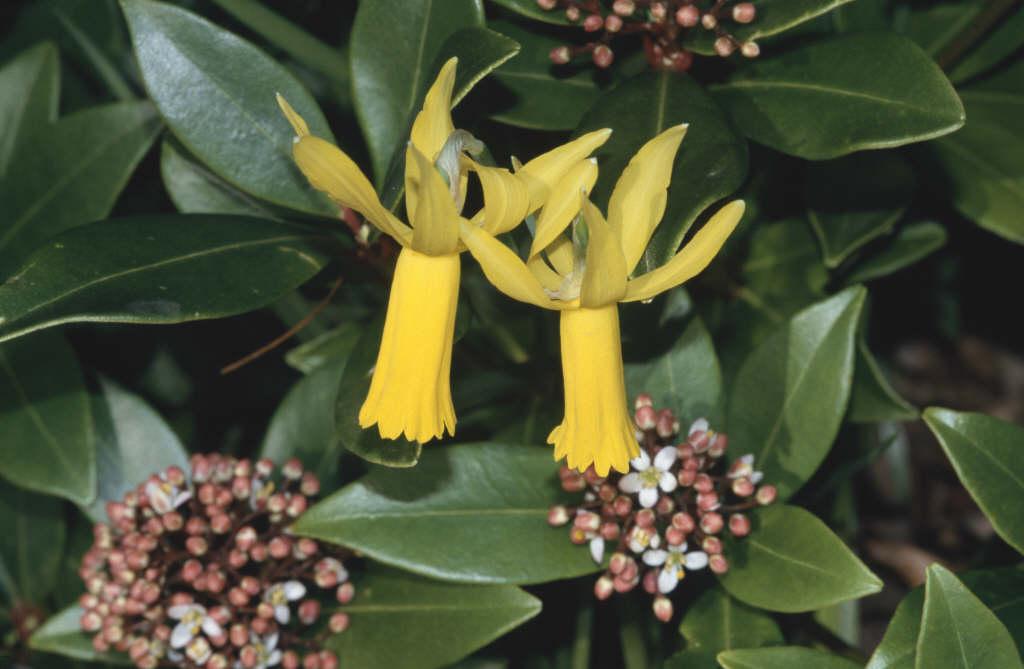daffodil 'Mite'