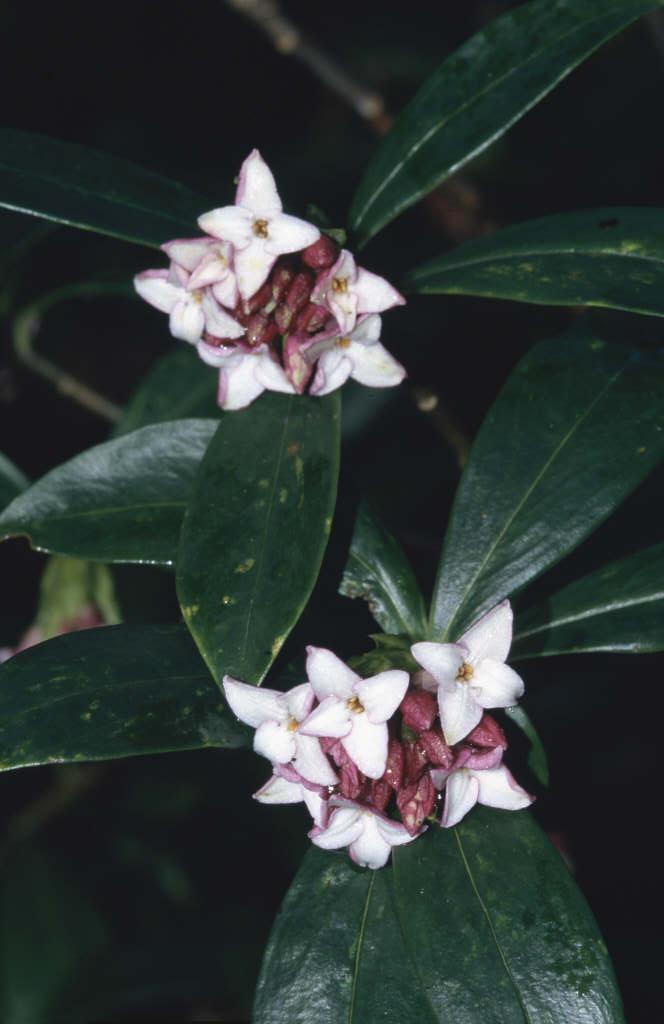 daphne odora var rubra red winter daphnerhs gardening