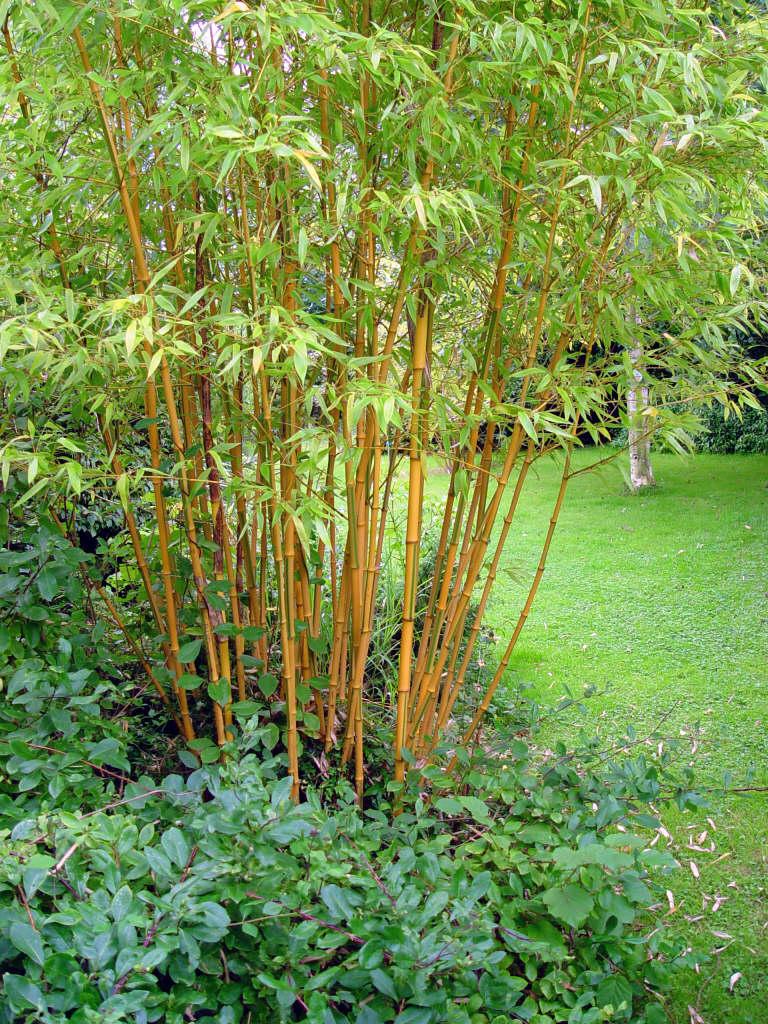 Castillon bamboo