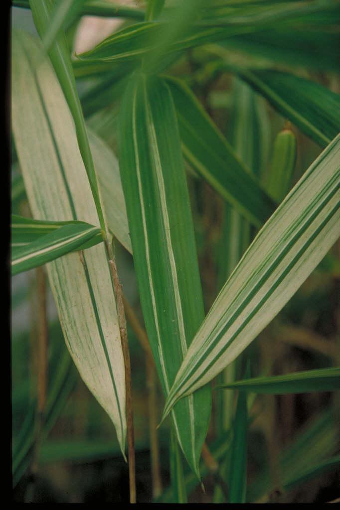 head-high variegated pleioblastus