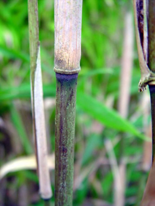 Hinds' cane-bamboo