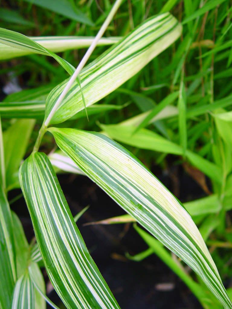 arrow bamboo 'Akebonosuji'