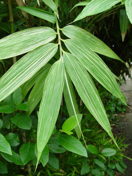bamboo 'Shima-shimofuri'