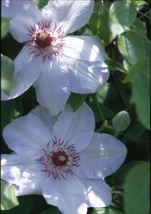 clematis 39 miss bateman 39 el clematis 39 miss bateman 39 rhs gardening. Black Bedroom Furniture Sets. Home Design Ideas